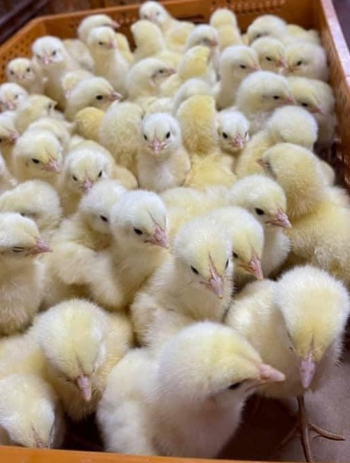 Grupo Alvorada é a primeira empresa brasileira a exportar material genético avícola para o Iraque